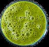 green skini shake small
